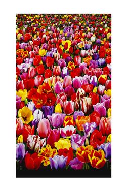 Tulips Digital Print Garden Double Border Multi